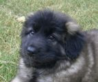 Gaia (10wks): A beautiful black face (true karabash type).