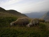 Sheep grazing in the high pastures of Karadzica mountain.